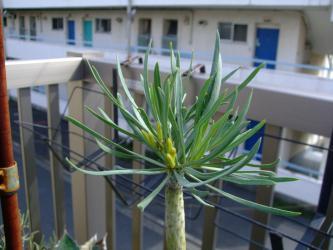 セネシオ クレイニア モンキーツリー(Senecio kleinia)天竜(てんりゅう) 花芽が上がってきました!2012.10.09