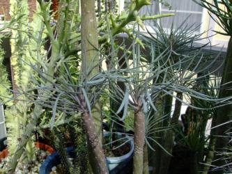 セネシオ クレイニア モンキーツリー(Senecio kleinia)天竜(てんりゅう) 灰色グレーな細葉タイプも茂っています!2012.10.09