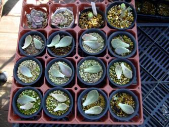 多肉植物(パキベリア 月花美人)~葉挿し・胴切~クローン繁殖します♪2012.10.09