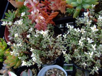 クラッスラ プルイノーサ(Crassula pruinosa) 細か~い銀葉に白い花♪2012.10.12
