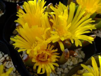 グロッチフィルム 不明種?妖女(ようじょ)(Glottiphyllum parvifolium)たくさん開花しました♪2012.10.13