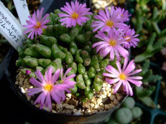 コノフィツム タンチルム 亜種 ヘレナエ(Conophytum tantillum ssp. helenae)開花中~2012.10.13