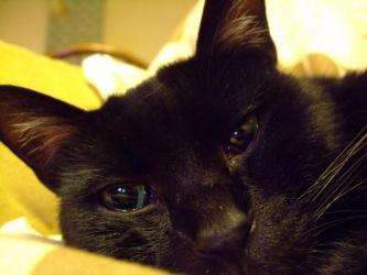 レブンとゴマ子ちゃんを見つめ~後釜を狙っている若手~黒猫のタコちゃん♂3歳♪じ~っと見ています。2012.11.07