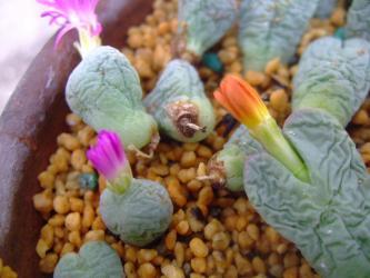 コノフィツム花芽があろうがなかろうが挿し木苗もう発根始まっています( ^▽^)~♪2012.10.21