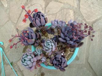 パキベリア 紫麗殿(シレイデン)~魅惑の思ったより赤い花~咲いています♪多肉寄せ植え吊鉢がカリカリ~です♪2012.10.23
