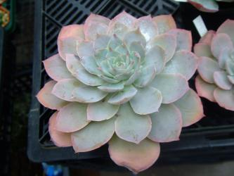 エケベリア ドミンゴ(Echeveria Domingo)ドミンゴ ~カンテで種取り×ルンヨーニの花粉?2012.11.05