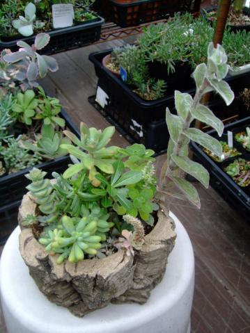 今年の5月~大船植物園の多肉寄せ植え講習会で作った多肉植物寄せ植えのその後~2012.10.27