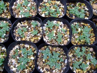イワレンゲの今年のこぼれ種発芽を鉢上げしました~♪コレも放置で順調~2012.10.27
