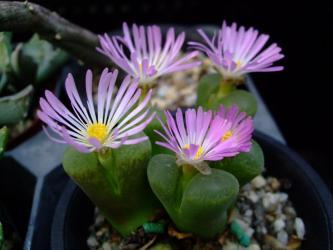 淡いピンク花のオフタルモフィルム~♪こちらも午前中から咲いて午後3時には閉じてしまいます♪2012.10.29