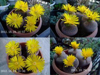 リトープス 日輪玉(にちりんぎょく)午後咲きですが全満開になるのは午後3時過ぎです♪4時半にはおしまい~短い開花時間~開いては閉じ3~4日咲きそうです!2012.10.29