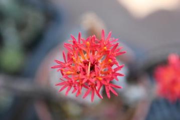 セネシオ(セネキオ) スタペリフォルミス(Senecio stapeliformis)鉄錫杖(てっしゃくじょう)赤い花が咲きました2012.05.24