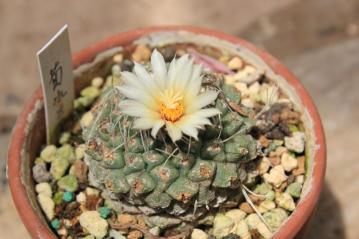 ストロンボカクタス 菊水(きくすい)(Strombocactus disciformis)なんとか開花中♪~2012.05.26