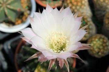 エキノプシス 世界の図(Echinopsis eyriesii f.variegata)開花中~2012.05.27