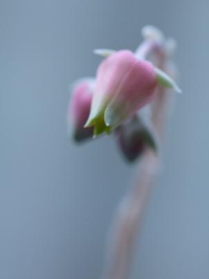 アルバのお花