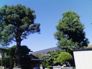 しらかし_03