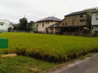 稲刈り_01